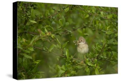 Whitethroat (Sylvia Communis) Adult Perched in Blackthorn Hedgerow with Insect, Cambridgeshire, UK-Andrew Parkinson-Stretched Canvas Print