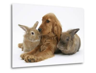 Red - Golden English Cocker Spaniel, 5 Months, with Two Rabbits-Mark Taylor-Metal Print