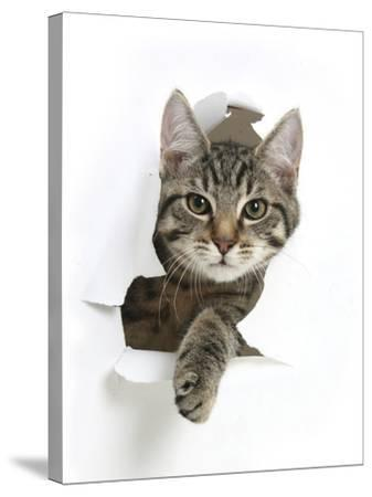 Tabby Kitten, Fosset, 4 Months , Breaking Through Paper-Mark Taylor-Stretched Canvas Print