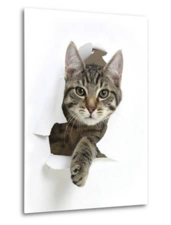 Tabby Kitten, Fosset, 4 Months , Breaking Through Paper-Mark Taylor-Metal Print