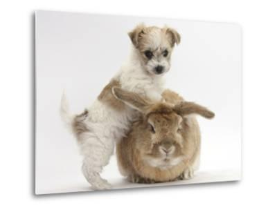 Bichon Frise Cross Yorkshire Terrier Puppy, 6 Weeks, and Sandy Rabbit-Mark Taylor-Metal Print