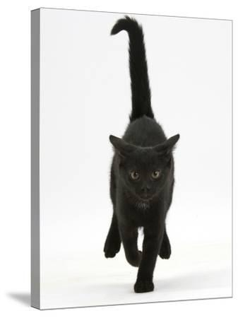 Black Male Kitten, Buxie, 12 Weeks Old, Running Forward-Mark Taylor-Stretched Canvas Print
