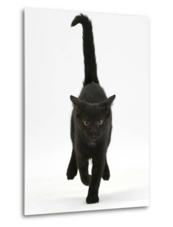 Black Male Kitten, Buxie, 12 Weeks Old, Running Forward-Mark Taylor-Metal Print
