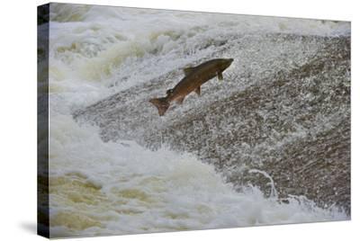 Atlantic Salmon (Salmo Salar) Leaping Up the Cauld at Philphaugh Centre Near Selkirk, Scotland, UK-Rob Jordan-Stretched Canvas Print