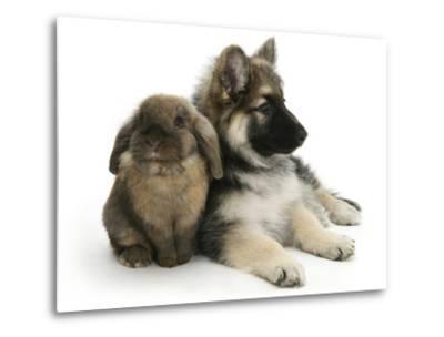 German Shepherd Dog Bitch Puppy, Echo, with Lionhead Rabbit-Mark Taylor-Metal Print