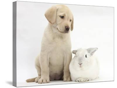 Yellow Labrador Retriever Puppy, 8 Weeks, with White Rabbit-Mark Taylor-Stretched Canvas Print