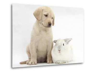 Yellow Labrador Retriever Puppy, 8 Weeks, with White Rabbit-Mark Taylor-Metal Print