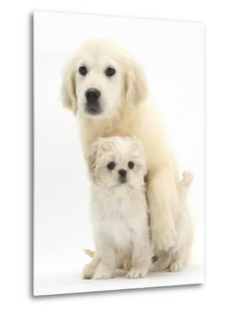 Golden Retriever Puppy, 16 Weeks, with Cream Shih-Tzu Puppy, 7 Weeks-Mark Taylor-Metal Print
