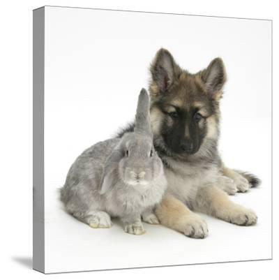German Shepherd Dog (Alsatian) Bitch Puppy, Echo, with Grey Windmill-Eared Rabbit-Mark Taylor-Stretched Canvas Print