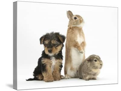 Yorkshire Terrier-Cross Puppy, 8 Weeks, with Guinea Pig and Sandy Netherland Dwarf-Cross Rabbit-Mark Taylor-Stretched Canvas Print