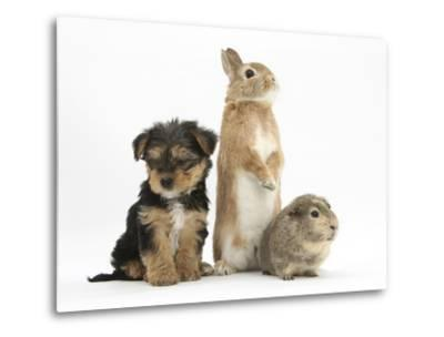Yorkshire Terrier-Cross Puppy, 8 Weeks, with Guinea Pig and Sandy Netherland Dwarf-Cross Rabbit-Mark Taylor-Metal Print