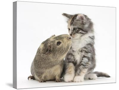 Guinea Pig and Maine Coon-Cross Kitten, 7 Weeks, Sniffing Each Other-Mark Taylor-Stretched Canvas Print