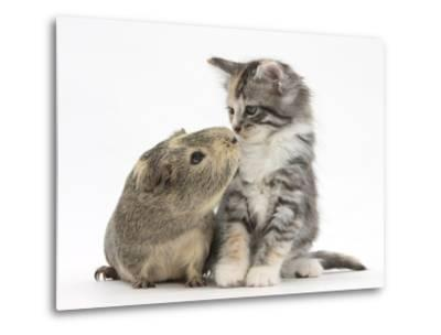 Guinea Pig and Maine Coon-Cross Kitten, 7 Weeks, Sniffing Each Other-Mark Taylor-Metal Print