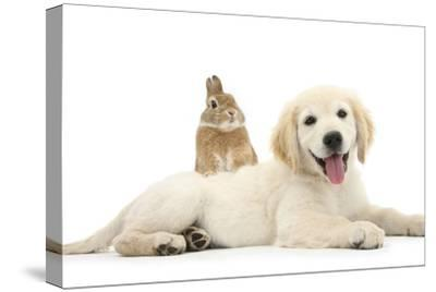 Netherland Cross Rabbit, Looking over the Back of Golden Retriever Dog Puppy, Oscar, 3 Months-Mark Taylor-Stretched Canvas Print