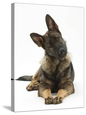 German Shepherd Dog Looking Inquisitively with Tilted Head-Mark Taylor-Stretched Canvas Print