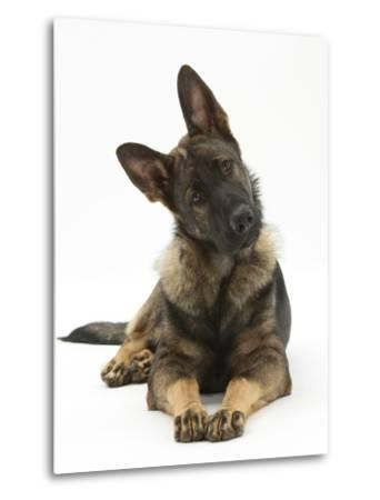 German Shepherd Dog Looking Inquisitively with Tilted Head-Mark Taylor-Metal Print
