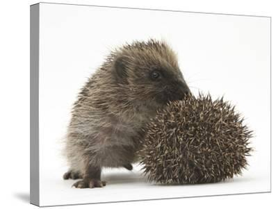Two Young Hedgehogs (Erinaceus Europaeus) One Standing, One Rolled into a Ball-Mark Taylor-Stretched Canvas Print