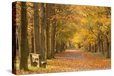 European Beech Trees in Autumn, Beacon Hill Country Park, the National Forest, Leicestershire, UK-Ross Hoddinott-Stretched Canvas Print
