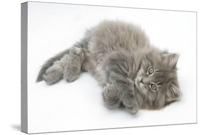 Maine Coon Kitten, 8 Weeks, Lying on its Back, Looking Up in a Playful Manner-Mark Taylor-Stretched Canvas Print