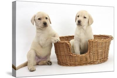 Yellow Labrador Retriever Puppies, 7 Weeks, in a Wicker Dog Basket-Mark Taylor-Stretched Canvas Print