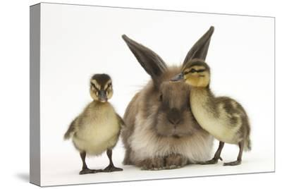 Young Lionhead-Lop Rabbit and Mallard Ducklings-Mark Taylor-Stretched Canvas Print