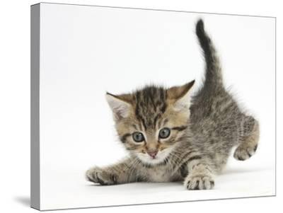 Cute Playful Tabby Kitten, Stanley, 6 Weeks Old-Mark Taylor-Stretched Canvas Print