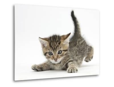 Cute Playful Tabby Kitten, Stanley, 6 Weeks Old-Mark Taylor-Metal Print