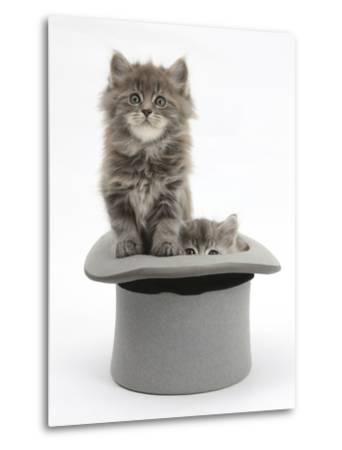Two Maine Coon Kittens, 7 Weeks, in a Grey Top Hat-Mark Taylor-Metal Print