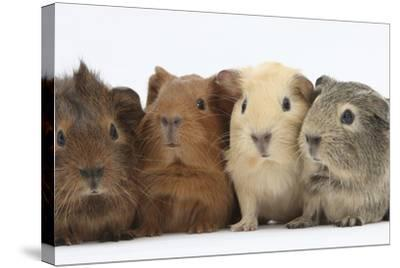 Four Baby Guinea Pigs, Each a Different Colour-Mark Taylor-Stretched Canvas Print