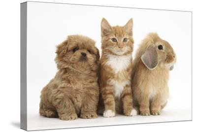 Peekapoo Puppy, Ginger Kitten and Sandy Lop Rabbit-Mark Taylor-Stretched Canvas Print
