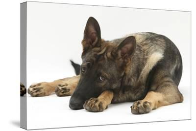 German Shepherd Dog Lying with His Chin on the Floor-Mark Taylor-Stretched Canvas Print