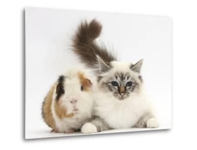 Tabby Point Birman Cat and Guinea Pig, Gyzmo-Mark Taylor-Metal Print