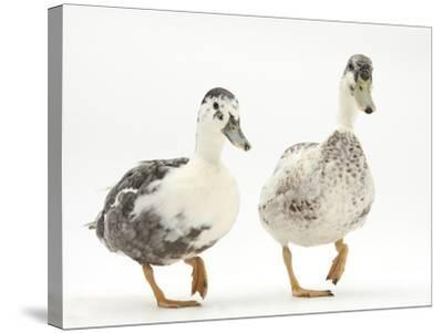 Two Call Ducks Walking-Mark Taylor-Stretched Canvas Print