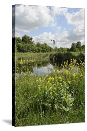 Wind Pump, Charlock (Sinapis Arvensis) Flowering in the Foreground, Wicken Fen, Cambridgeshire, UK-Terry Whittaker-Stretched Canvas Print