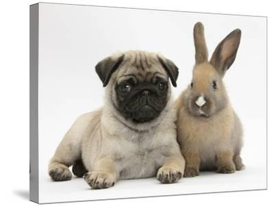 Fawn Pug Puppy, 8 Weeks, and Young Rabbit-Mark Taylor-Stretched Canvas Print