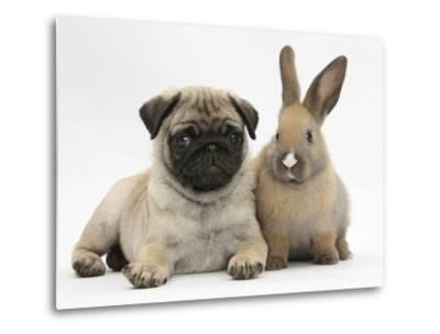 Fawn Pug Puppy, 8 Weeks, and Young Rabbit-Mark Taylor-Metal Print
