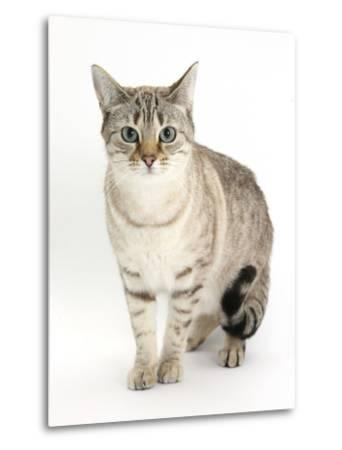 Sepia Snow Bengal-Cross Female Cat, Lilli-Mark Taylor-Metal Print