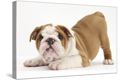 Playful Bulldog Puppy, 8 Weeks, in Play-Bow-Mark Taylor-Stretched Canvas Print