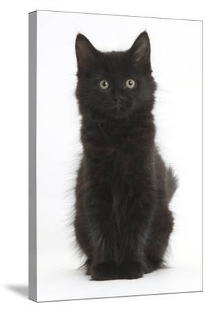Fluffy Black Kitten, 9 Weeks Old, Sitting-Mark Taylor-Stretched Canvas Print