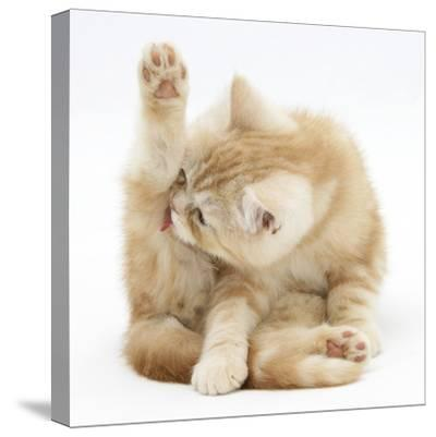Ginger Kitten 'Funnel-Grooming'-Mark Taylor-Stretched Canvas Print