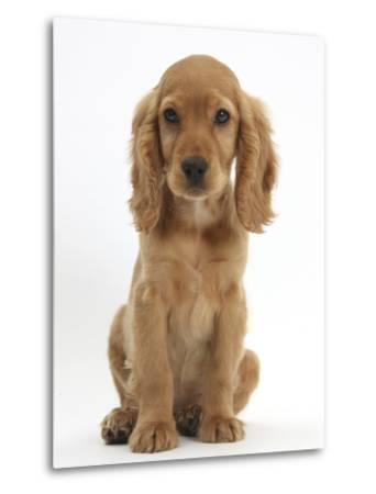 Golden Cocker Spaniel Puppy, Maizy, Sitting-Mark Taylor-Metal Print