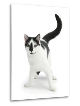 Black-And-White Cat, Pablo-Mark Taylor-Metal Print