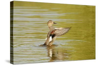 Gadwall (Anas Strepera) Female Duck Stretching Wings on Rutland Water, Rutland, UK, April-Terry Whittaker-Stretched Canvas Print