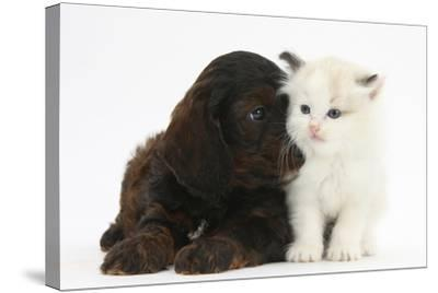 Cockerpoo Puppy and Ragdoll-Cross Kitten-Mark Taylor-Stretched Canvas Print