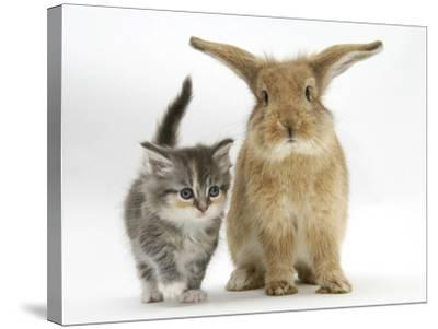 Tabby Kitten with Sandy Lionhead-Cross-Mark Taylor-Stretched Canvas Print