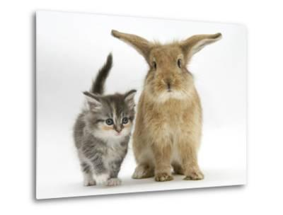 Tabby Kitten with Sandy Lionhead-Cross-Mark Taylor-Metal Print