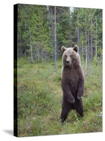 European Brown Bear (Ursos Arctos) Standing on Rear Legs, Kuhmo, Finland, July 2009-Cairns-Stretched Canvas Print