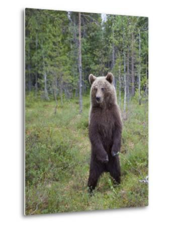 European Brown Bear (Ursos Arctos) Standing on Rear Legs, Kuhmo, Finland, July 2009-Cairns-Metal Print
