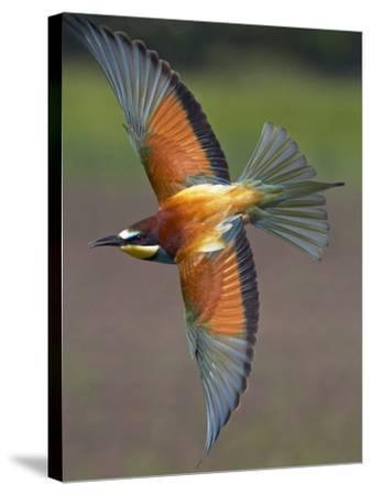 European Bee-Eater (Merops Apiaster) in Flight, Pusztaszer, Hungary, May 2008-Varesvuo-Stretched Canvas Print