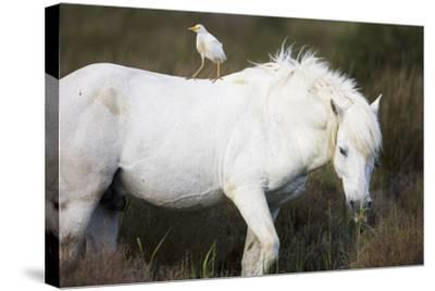 White Camargue Stallion with a Cattle Egret (Bulbulcus Ibis) on His Back, Camargue, France-Allofs-Stretched Canvas Print